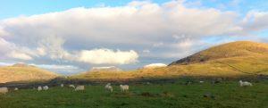 Sheep in a rural field